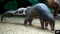 Loài tê tê được tìm thấy ở châu Phi và Đông Nam Á là một trong những loài động vật có vú bị buôn bán bất hợp pháp nhiều nhất.