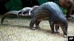 The CITES conference decided to move the pangolin onto its most protected species list.