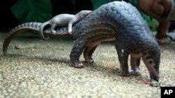 Pangolin carrying its young. Scaly anteaters called endangered by conservation groups.