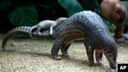 FILE - A Pangolin carrying its young. The long-snouted, nocturnal pangolin, the size of a small dog and found in Africa and Southeast Asia, is the world's most illegally trafficked mammal, according to the United Nations Environment Program.