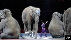 Azijski slonovi poslednji put nastupaju u cirkusu Ringling Bros. i Barnum i Bejli 1. maja 2016.