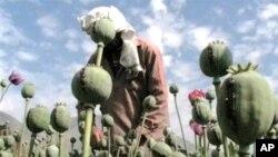 阿富汗一个婴粟种植农场