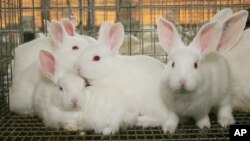 FILE - Rabbits sit in a cage in a barn in Marbury, Ala.