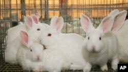 Kelinci-kelinci di peternakan di Marbury, Alabama. (Foto: Ilustrasi)