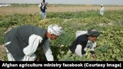 مقامهای افغان تلاش دارند که سکتور خصوصی را در بخش سرمایهگذاری در زراعت تشویق کنند