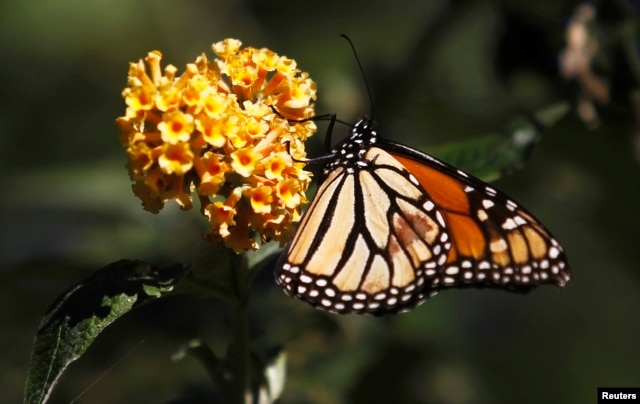 FILE - In any given community, up to 40 percent of invertebrate species, like bees and butterflies, are threatened, a new study reports.