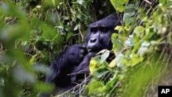 Un gorille des montagnes