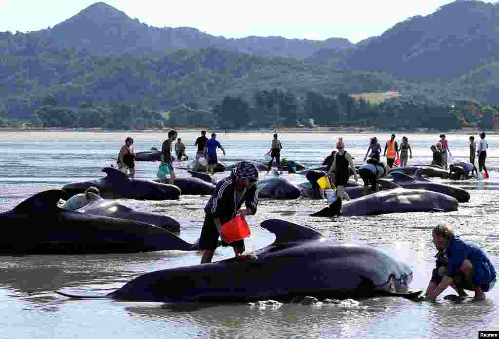 Volunteers try to assist stranded pilot whales after one of the country's largest recorded mass whale strandings, in Golden Bay, at the top of New Zealand's South Island, Feb. 11, 2017.