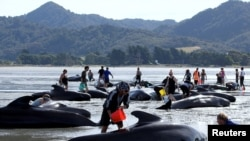 FILE - Volunteers try to assist some more stranded pilot whales that came to shore in the afternoon after one of the country's largest recorded mass whale strandings, in Golden Bay, at the top of New Zealand's South Island, February 11, 2017.
