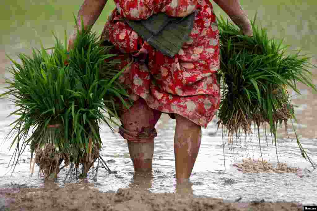 A farmer carries rice samplings as she prepares to plant them on a field, as monsoon season arrives in Bhaktapur, Nepal.