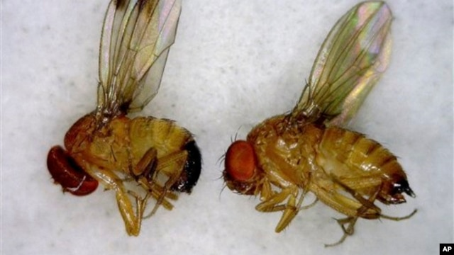 This July 2012 photo released by the University of Maine Cooperative Extension Service shows a male, left, and female, right, spotted wing drosophila, an invasive fruit fly.  The insect was first detected in Maine in small numbers in the summer of 2011. B
