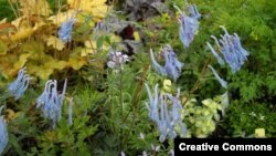 Corydalis bitkisi Türkçe'de 'kaz gagası' adıyla biliniyor