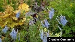 La planta Corydalis en floración (Creative Commons-Wikimedia).