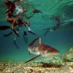 Snorkelers swim with sharks on a reef in Bimini, Bahamas, in 1995