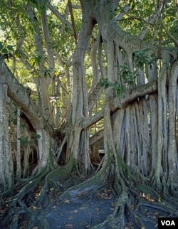 Thomas Edison's banyan tree looks like something out of a scary movie. (Carol M. Highsmith)