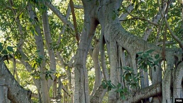 Pohon beringin milik Thomas Edison tampak seperti pohon di film hantu. (Carol M. Highsmith)