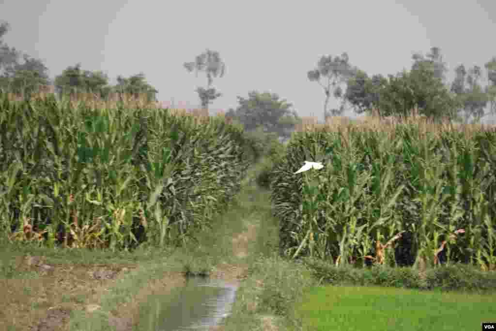 پنجاب پاکستان کے دیگر صوبوں کے مقابلے میں سب سے زیادہ زرخیز ہے۔ یہاں مختلف اقسام کی فصلیں کاشت کی جاتی ہیں۔