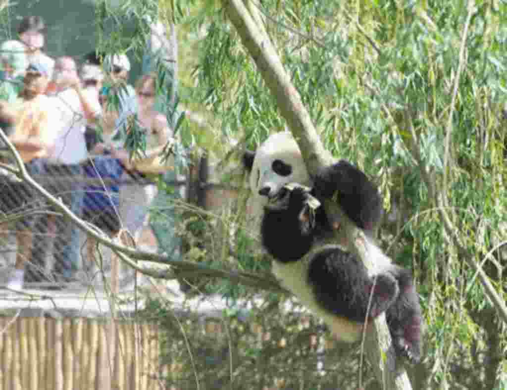 Este es Tai Shan, mientras estuvo en Washington atrajo a muchos visitantes. La mayoría de osos panda gigantes alrededor del mundo pertenecen a China.