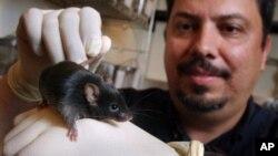 Menurut Ronald Tompkins, guru besar Fakultas Kedokteran Universitas Harvard, respon genetik pada tikus sangat beragam, dan menunjukkan, obat yang manjur pada tikus mungkin tidak manjur bagi manusia (foto: Dok).