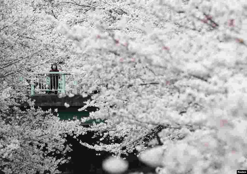 Seorang perempuan mengamati bungai Sakura yang bermekaran di Tokyo, Jepang.