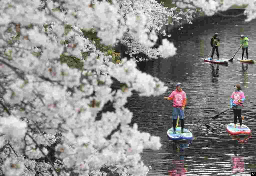 Para turis mendayung papan selancar sambil menikmati suasana bunga sakura di sungai Oka, Yokohama, Jepang.