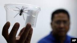 Seorang staf Departement Lingkungan Hidup dan Sumber Daya Alam Filipina memperlihatkan satu dari 757 tarantula yang disimpan dalam wadah plasik, di kantor mereka di Manila, Filipina, 3 April 2019.