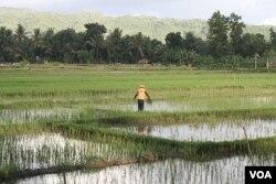 Seorang petani di Pacitan sedang bekerja di sawah. Politisi menyebut keterlibatan mereka akan membuka berbagai peluang bagi para petani.