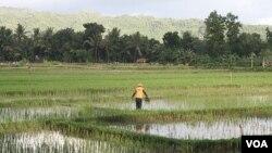 Seorang petani di Pacitan sedang bekerja di sawah (Foto: dok).