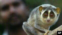 Loris, hewan nokturnal yang berkerabat dekat dengan lemur. (Foto: Dok)