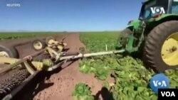 Fermerët shkatërrojnë parcelat e mbjella me sallatë, pasi nuk ka kërkesë për produktin.