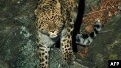 В Індії леопард поранив кількох селян