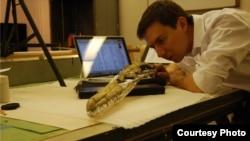 Dr. Daniel Ksepka, curator of science at the Bruce Museum, studies the skull of Pelagornis sandersi. (Bruce Museum photo)