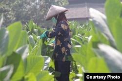 Petani merawat tanaman tembakaunya. (Foto courtesy: APTI)
