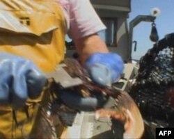 渔民用量器测量龙虾大小