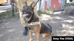 One of eight new dogs that has been trained to sniff out ivory in airports and ports in Kenya and Tanzania to combat wildlife trafficking, Nairobi, Kenya.