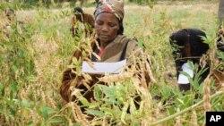 Des femmes sélectionnant ds variétés de légumineuses au Kenya