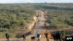 Un troupeau de bétail marche dans la vallée du Grand Rift près de la ville de Narok, à 150 km de la capitale Nairobi, le 19 janvier 2008.