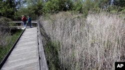 Rumput gelagah, ternyata lebih efisien untuk membersihkan air limbah daripada menggunakan alat-alat mekanis (foto: ilustrasi).