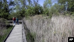 "A couple walks past last year's growth of Phragmites, also known as ""Giant Reed,"" Sunday, May 13, 2007, at Maumee Bay State Park in Oregon, Ohio. (AP Photo/J.D. Pooley)"
