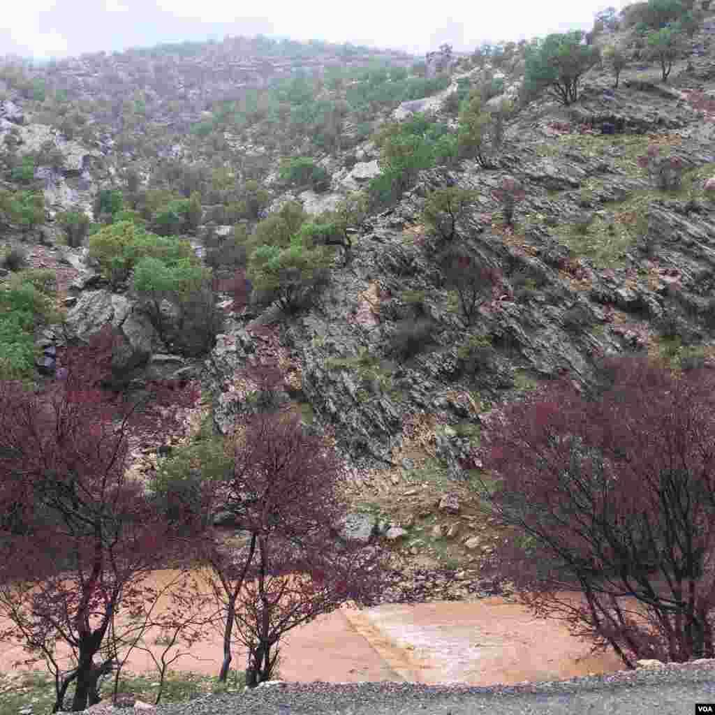 درختان ارغوان تنگه ارغوان ایلام عکس: سجاد (ارسالی شما)