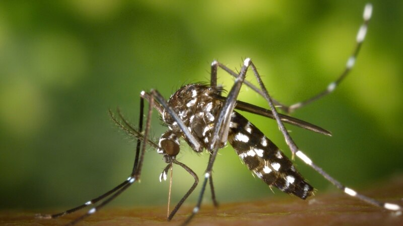 Burkina: controverse autour de moustiques OGM contre le paludisme