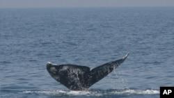 Sivi kitovi pokazuju kako se morske vrste prilagođavaju ciklusima zatopljenja i zahlađenja