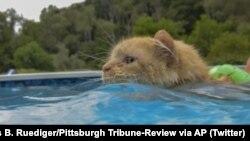 تیسی گربه شناگر