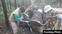 Bangkai gajah Sumatera yang ditemukan di kawasan konsensi hutan tanaman industri di Kabupaten Bengkalis, Riau, Selasa, 19 November 2019. (Courtesy: BBKSDA Riau).