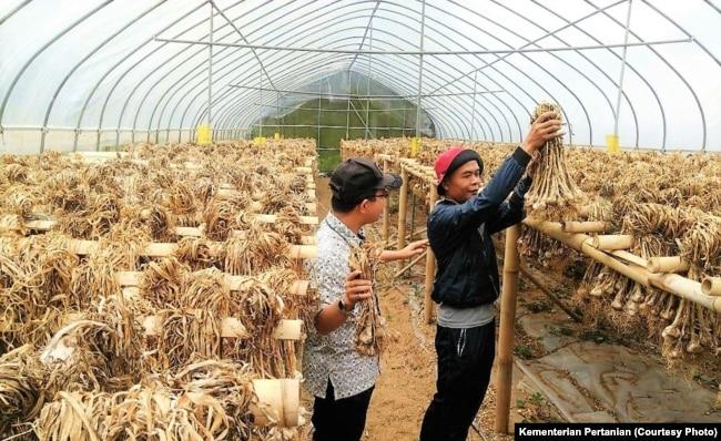 Pengolahan panen bawang putih. (Foto: Kementan)