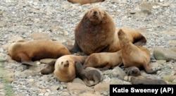 Alaska's Sea Lions in the Aleutian Islands (AP Photo/Katie Sweeney)