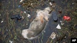 漂入上海郊区的死猪