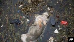 這頭死豬星期天漂到上海的郊區