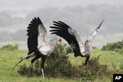 Conservationists have also concentrated on reestablishing populations of rare birds, like these secretary birds, in the 'Albany Hotspot'