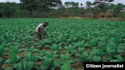 Extensive crop cultivation used to be the mainstay of Zimbabwe's agricultural sector. (Photo/Citizen Journalist)